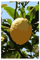 A citron, used on the holiday of Sukkoth as part of the Four Species.